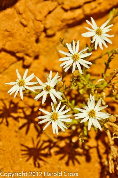 A Wildflower  taken Apr. 21, 2012 on the Colorado National Monument near Fruita, CO.