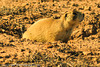 A Prairie Dog taken Oct. 12, 2011 near Fruita, CO.