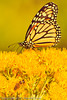A butterfly taken Oct. 14, 2011 in Grand Junction, CO.