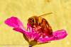 A bee with a  flower taken May 19, 2012 in Fruita, CO.