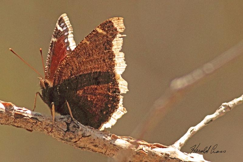 A Butterfly taken May 13, 2011 near Denver, CO.