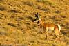 An Antelope taken Oct. 12, 2011 near Fruita, CO.