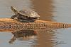A turtle taken Apr. 4, 2011 in Grand Junction, CO.