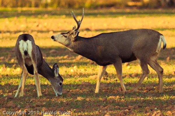 Deer taken Nov. 8, 2011 near Fruita, CO.