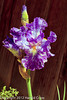 An Iris taken May 19, 2012 in Fruita, CO.