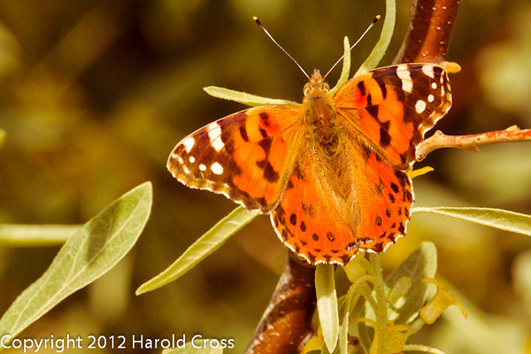 A butterfly taken May 17, 2012 in Grand Junction, CO.