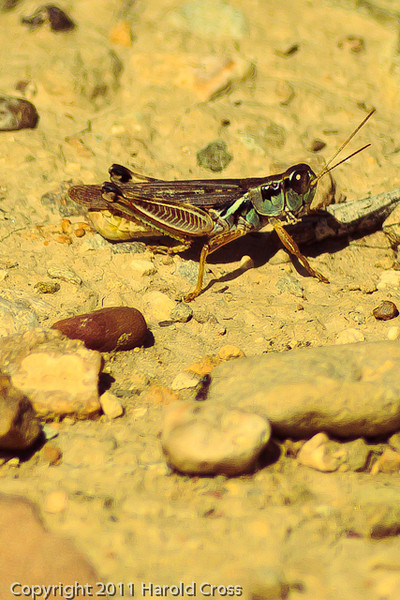 A grasshopper taken Sep. 15, 2011 near Fruita, CO.