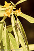 A damselfly on Russian Olive taken May 17, 2012 in Grand Junction, CO.