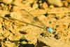 A damselfly taken Aug. 19, 2011 near Fruita, CO.