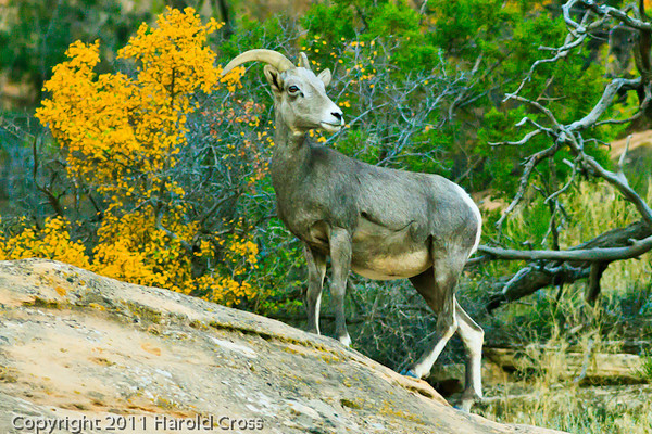 A Bighorn Sheep taken Oct. 19, 2011 at the Colorado National Monument near Fruita, CO.