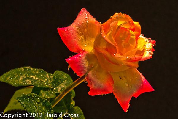 A rose taken June 5, 2012 in Fruita, CO.