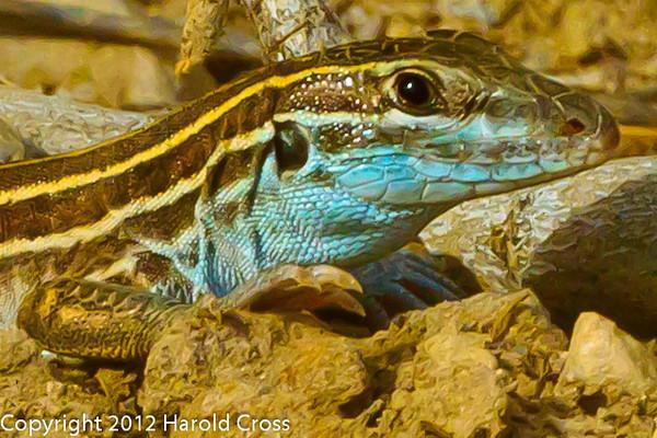 A Lizard taken May 17, 2012 in Grand Junction, CO.