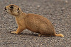 A prairie dog taken May 24, 2011 in Fruita, CO.