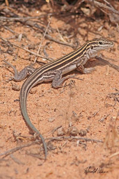 A lizard taken Jun 13, 2010 near Fruita, CO.  This looks like an Arizona Striped Whiptail.