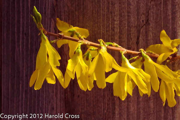 A Forsythia taken Mar. 29, 2012 in Fruita, CO.