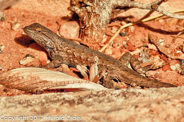 A lizard taken Oct. 17, 2011 in the Colorado National Monument near Fruita, CO.