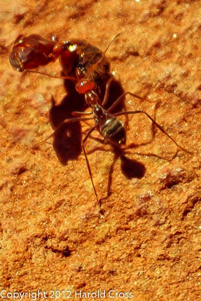 An Ant  taken Apr. 21, 2012 on the Colorado National Monument near Fruita, CO.