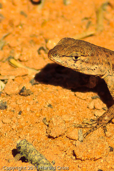A Lizard taken Oct. 19, 2011 at the Colorado National Monument near Fruita, CO.