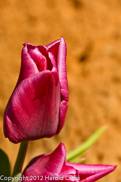 A Tulip taken Apr. 7, 2012 in Fruita, CO.