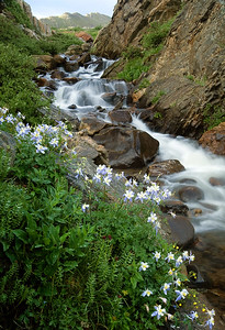 Columbines in an isolated canyon near Independance Pass