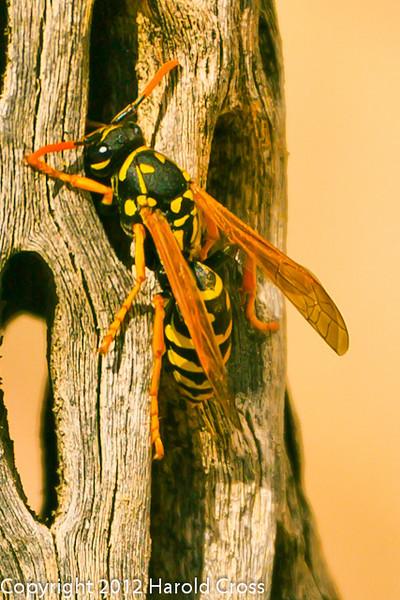 A Wasp taken Mar. 29, 2012 in Fruita, CO.