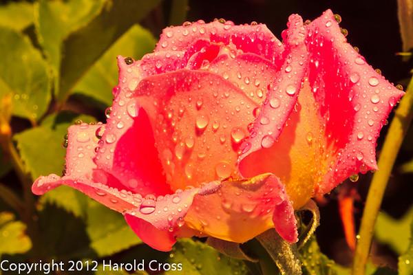 A rose taken May 24, 2012 near Fruita, CO.