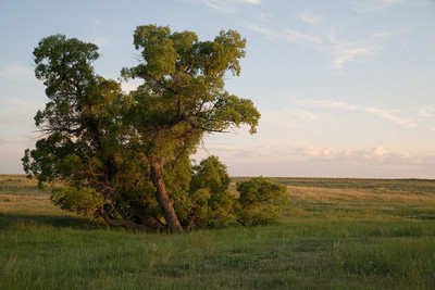 Pawnee Grasslands Cottonwood