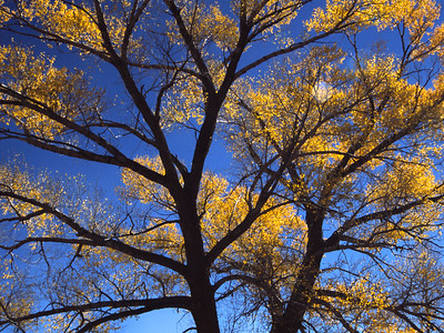 These cottonwood trees were standing along the roadside in Colorado.