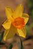 A daffodil taken April 11, 2011 in Fruita, CO.
