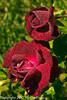 A rose taken May 19, 2012 in Fruita, CO.