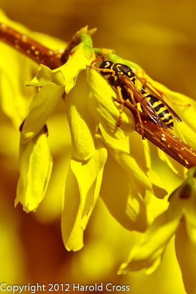 A Wasp on Forsythia taken Mar. 29, 2012 in Fruita, CO.