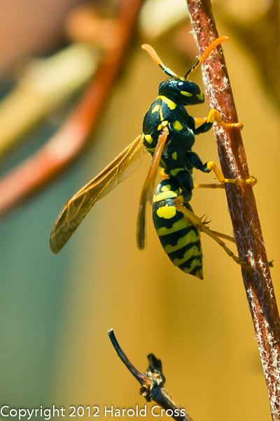 A wasp taken Apr. 7, 2012 in Fruita, CO.