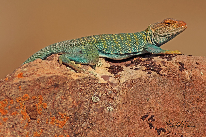 A lizard taken June 3, 2011 near Fruita, CO.