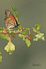 A butterfly taken Sep 14, 2010 near Grand Junction, CO.