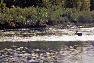 Mule deer crossing the Rio Grande River