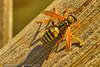 A wasp taken Sep., 4, 2011 in Fruita, CO.
