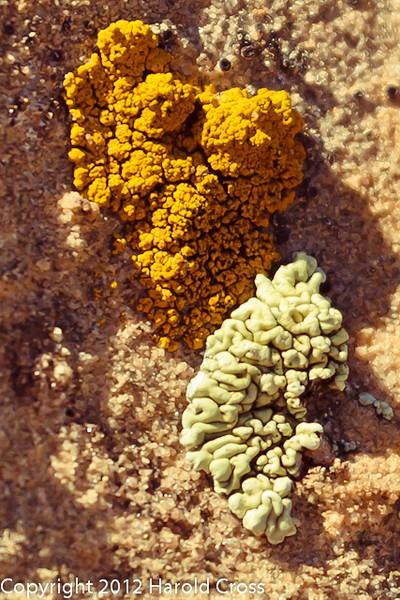 Lichens  taken Apr. 21, 2012 on the Colorado National Monument near Fruita, CO.