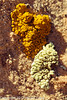 Lichens  taken Apr. 21, 2012 on the Colorado National Monument near Fruita, CO.