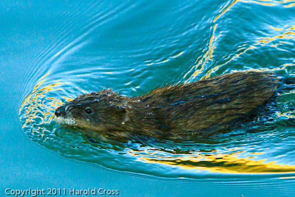 A Muskrat taken Nov. 17, 2011 at Highline Lake State Park near Fruita, CO.
