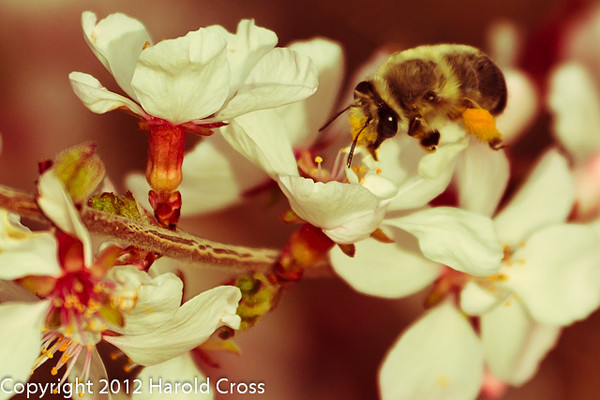 A Bee taken Mar. 28, 2012 near Fruita, CO.