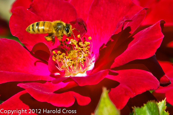 A bee with a  rose taken May 19, 2012 in Fruita, CO.