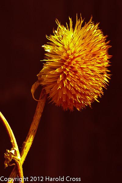 A dried flower head taken Mar. 29, 2012 in Fruita, CO.