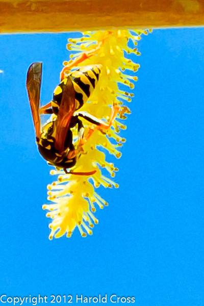 A Wasp on a Weeping Willow Flower taken Mar. 29, 2012 in Fruita, CO.