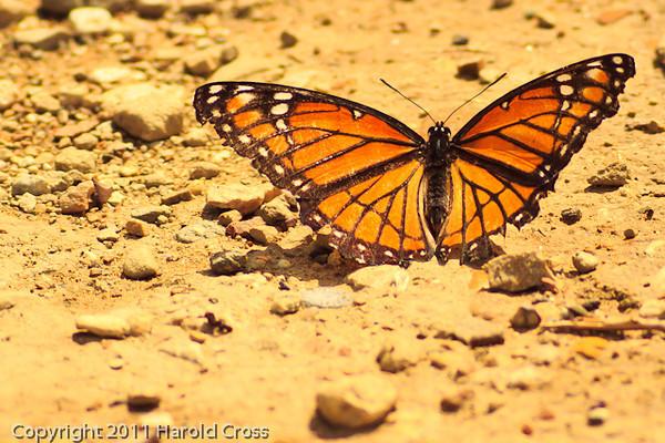 A butterfly taken Sep. 15, 2011 near Fruita, CO.