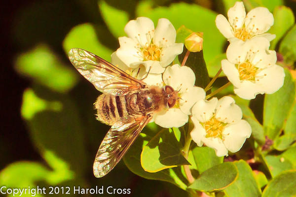 A Bee on Spirea flowers taken May 14, 2012 in Fruita, CO.