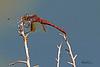 A dragonfly taken Sep 9, 2010 near Fruita, CO.