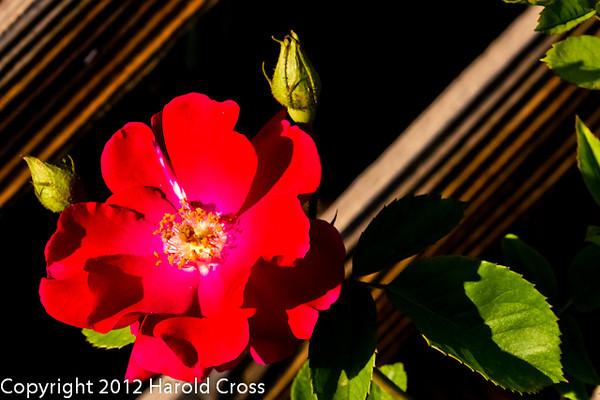 A rose taken May 20, 2012 in Fruita, CO.