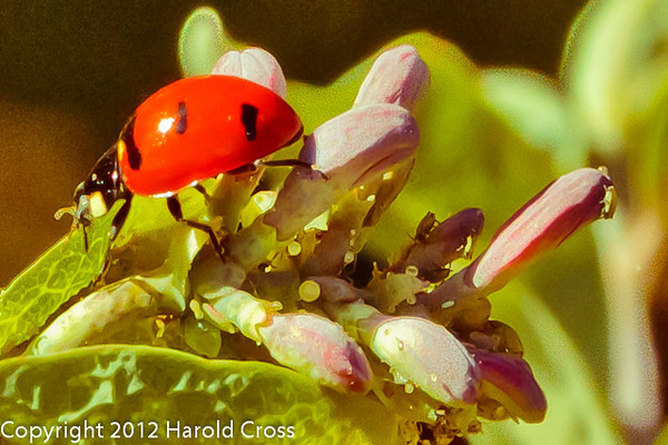 A Ladybird Beetle and Aphids taken May 8, 2012 in Fruita, CO.