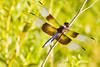 A dragonfly taken Aug. 19, 2011 near Fruita, CO.