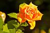 A rose taken Jun 28, 2011 in Grand Junction, CO.